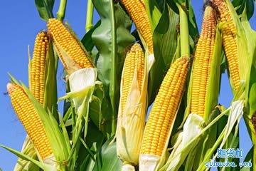 一手玉米期货的保证金