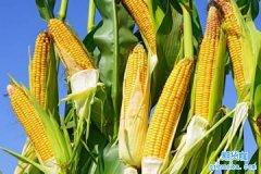 什么是玉米期货,一手玉米期货保证金多少钱?